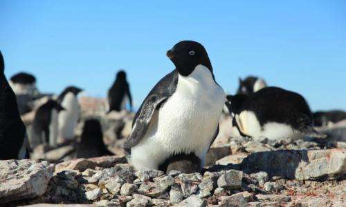 Spy on penguin families for science