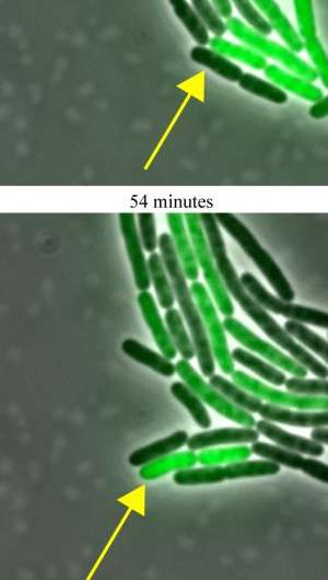 Synthetic genetic clock checks the thermometer