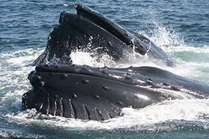 Syracuse biologist reveals how whales may 'sing' for their supper