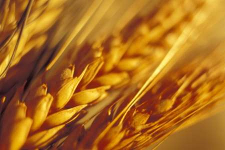 Taking a shortcut to improving wheat