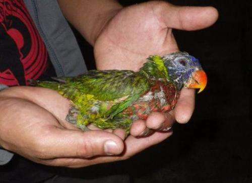 Undated Department of Environment and Natural Resources handout photo released on February 16, 2014 shows a sick parrot, one of