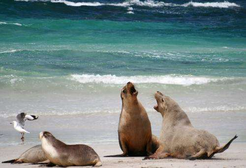 Western Australian sea lions infected with high rate of Giardia