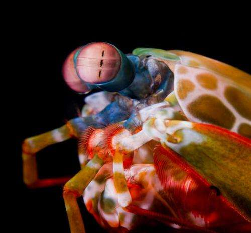 With 'biological sunscreen,' mantis shrimp see the reef in a whole different light