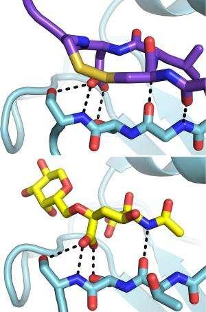 X-rays show how flu antibody binds to viruses