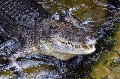 File photo taken on March 3, 2014 shows a 700-kilogram saltwater crocodile at Wildlife Sydney Zoo in Sydney