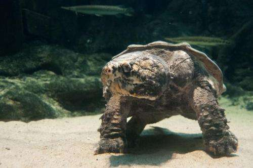 Scientists solve reptile mysteries with landmark study on the evolution of turtles