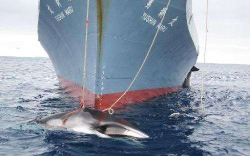 A handout photo released on February 7, 2008 shows two whales dragging from a Japanese ship after being harpooned in Antarctic w