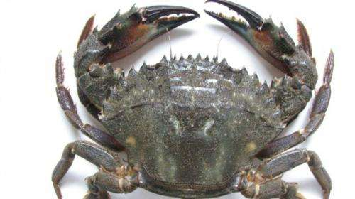 Citizen scientists home in on crab menace