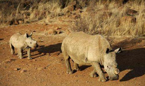 A black dehorned rhinoceros is followed by a calf at the Bona Bona Game Reserve, in Klerksdorp, South Africa, August 3, 2012
