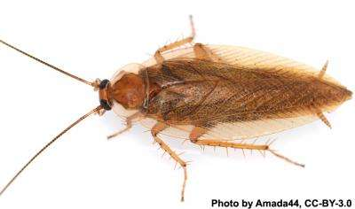 After a 49-million-year hiatus, a cockroach reappears in North America