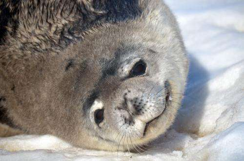 Antarctic seals may use Earth's magnetic field to navigate while hunting