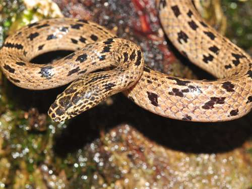 Distinctive new wolf snake species discovered in Cambodia