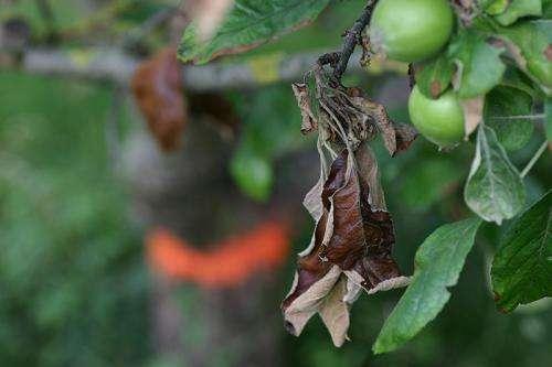 Fire-blight resistant apples