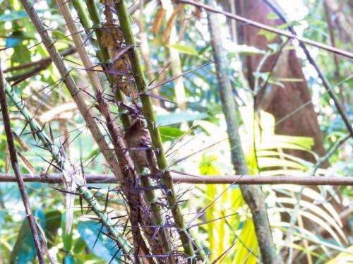 First-ever book on Mekong rattan species aims to promote sustainable practices