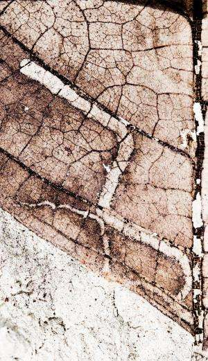 Leaf-mining insects destroyed with the dinosaurs, others quickly appeared