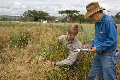 Looking to wheat's wild ancestors to combat an evolving threat