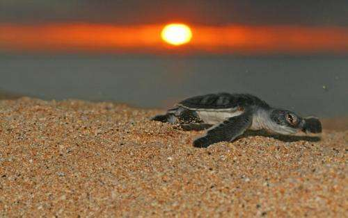 Major turtle nesting beaches protected in 1 of the UK's far flung overseas territories