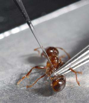 On the trail of fire ant pheromones
