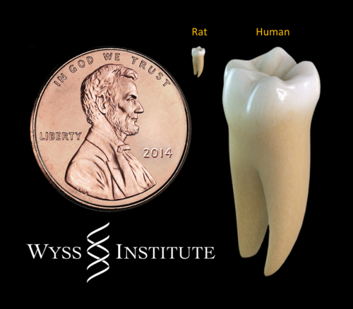 Researchers use light to coax stem cells to repair teeth