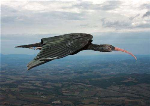 Study: Birds fly in 'V' formation to save energy
