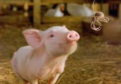 Research shows E.B. White was right in Charlotte's Web