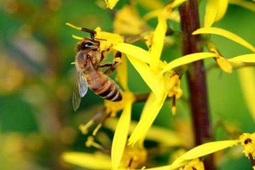 Evolutionary history of honeybees revealed by genomics