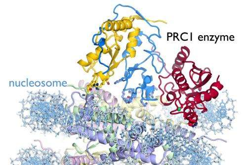 First detailed picture of a cancer-related cell enzyme in action on a chromosome unit