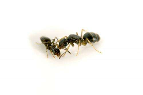 High ant diversity underfoot in urban environments