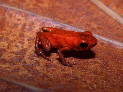 Scientists discover new poison dart frog species in Donoso, Panama