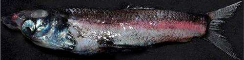 Researchers discover fish with a previously unknown type of eye