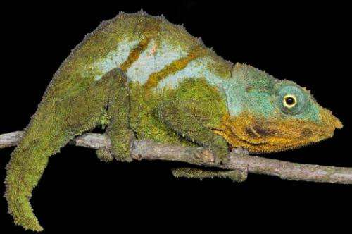 Four chameleon species discovered in Mozambique's 'sky islands'