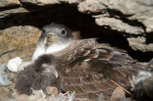Conservation and immunology of wild seabirds: Vaccinating 2 birds with 1 shot