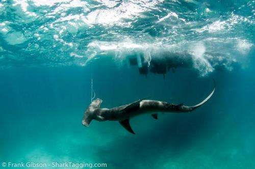 New study reveals vulnerability of sharks as collateral damage in commercial fishing