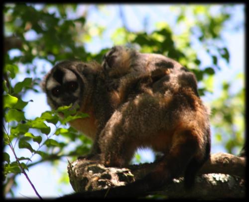 Owl monkeys don't cheat, study shows