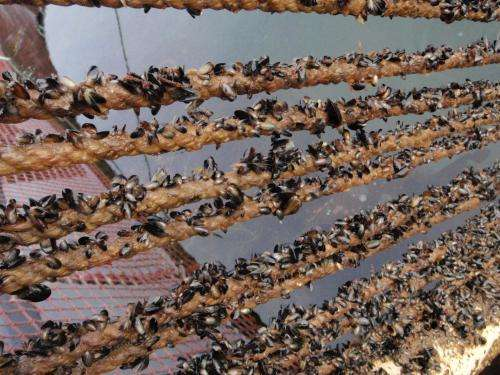 Researchers optimize growing conditions and practices to improve mussel farming