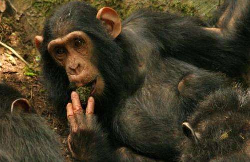 Study shows how chimpanzees share skills