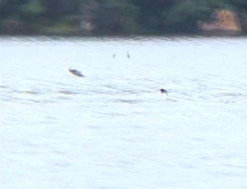 Researchers capture video of freshwater fish grabbing birds out of the air