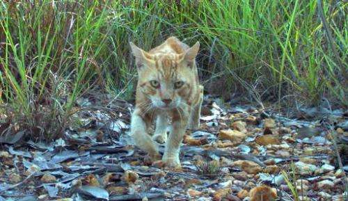 An undated handout photo taken in November 2010 and released by the Charles Darwin University on June 4, 2014 shows a feral cat