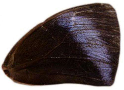 Scientists create purple-winged butterflies in six generations