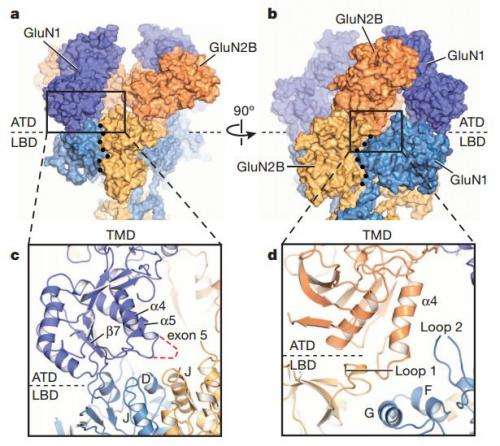 Research gives unprecedented 3-D view of important brain receptor