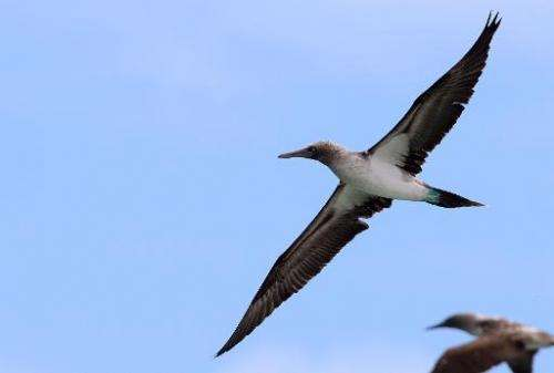 A blue-footed booby flies over the Pitt Point, in San Cristobal island in the Galapagos, on September 2, 2009