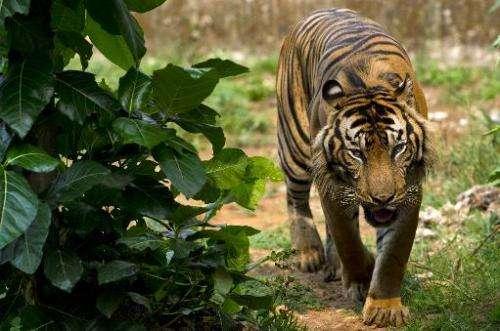 A critically endangered Sumatran tiger, pictured at its enclosure at Ragunan Zoo in Jakarta, on October 23, 2013