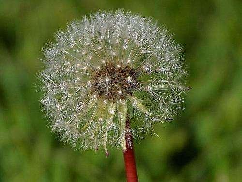 A Dandelion is a prolific, yet short-lived, plant.