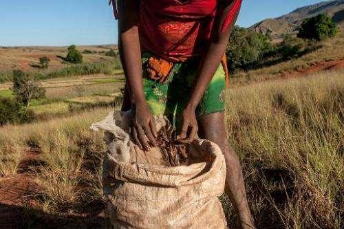 A farmer from Amparihibe village with a bag of dead locusts in Tsiroanomandidy, western Madagascar on May 7, 2014