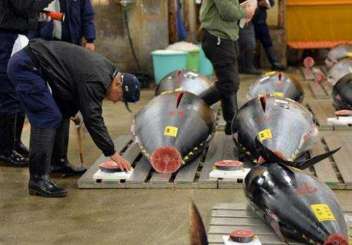 A fishmonger checks a bluefin tuna before the first trading of the new year at Tokyo's Tsukiji fish market, on January 5, 2014