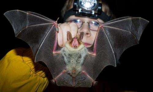 A Greater mouse-eared bat in Frankfurt, Germany, on January 17, 2014