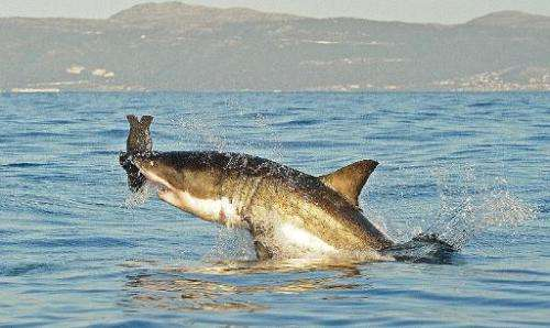 A great white shark jumps out of the water as it bites a fake decoy seal near False Bay, on July 4, 2010