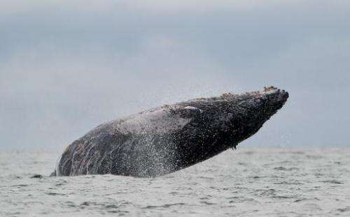 A Humpback whale jumps in the surface of the Pacific Ocean at the Uramba Bahia Malaga natural park in Colombia, on July 16, 2013