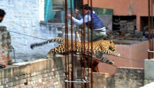 A leopard leaps across an construction site near a furniture market in the Degumpur residential area of Meerut, 60 kilometres (3