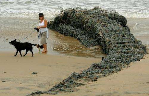 A local resident walks her dogs past a now exposed storm water barrier near the coastal town of Old Bar, in Australia's New Sout
